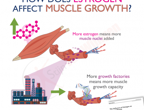 How does estrogen affect muscle growth?